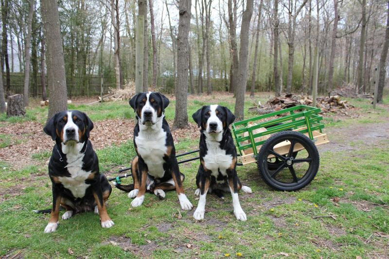 Matterhorn Greater Swiss Mountain Dogs Home