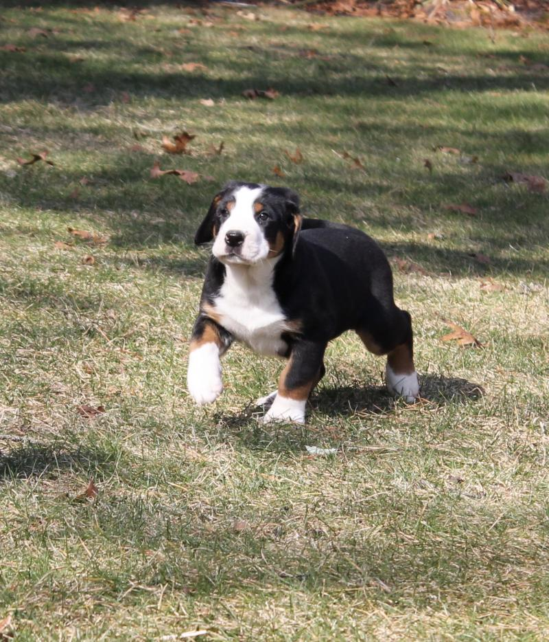 Matterhorn Greater Swiss Mountain Dogs Upcoming Litters