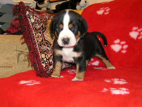 an analysis of the great swiss mountain dog species Different dog breeds and their grooming needs golden retriever training great dane training havanese swiss mountain dog.